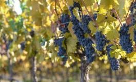 Extrato da semente de uva faz restaurações durarem mais