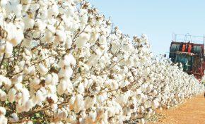Brasil terá melhor safra de algodão da história
