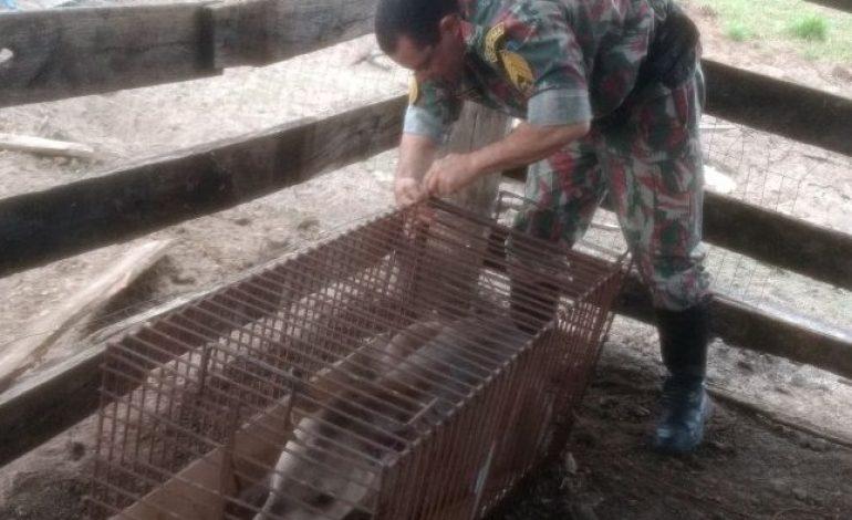 Anta se livra de caçadores e é socorrida por capataz de fazenda