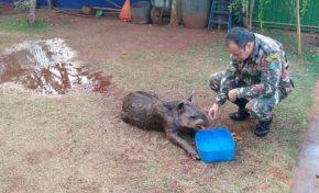 Filhote de anta ferido é resgatado por militares ambientais em assentamento