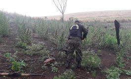 Polícia encontra 10 hectares com plantação de maconha