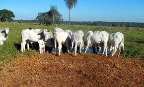 Bandidos jogam pecuarista amordaçado em buraco para roubar gado