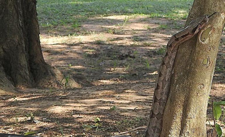 Jiboia vira centro das atenções no Parque Lagoa Comprida em Aquidauana