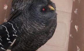 PMA resgata espécie de coruja rara em ambiente urbano