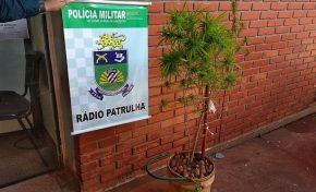 Polícia vai atender ocorrência de briga de casal e encontra plantação de maconha