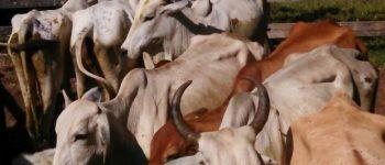 Funcionário de fazenda e comparsas são presos por furto de gado em Aquidauana