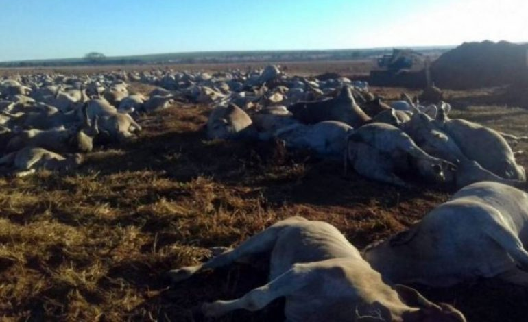 Iagro conclui que intoxicação alimentar matou bovinos