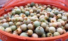 Governador declara guavira fruto símbolo de Mato Grosso do Sul