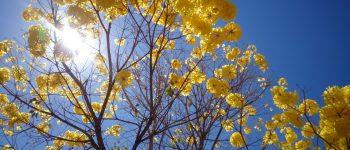 Ipê-amarelo agora é simbolo oficial de Mato Grosso do Sul