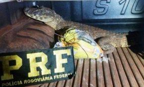 Homem é flagrado pela PRF transportando jacaré vivo em veículo