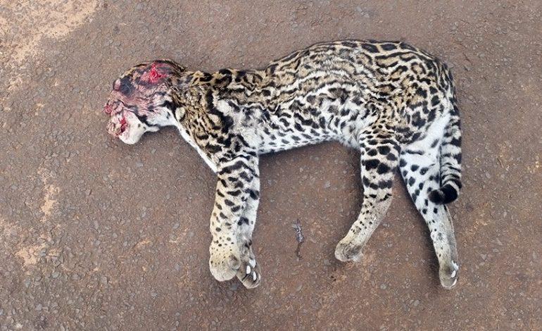 PMA é acionada para recolher jaguatirica morta a tiro e pauladas em rodovia