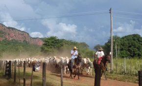 Aquidauana: Leilão de 140 bovinos será no dia 23 de março