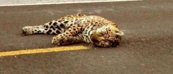 Onça-pintada é encontrada atropelada próximo a cidade de Miranda