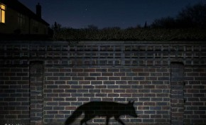 Foto de batalha de raposas vence prêmio de natureza selvagem