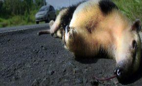 Projeto quer evitar morte de animais silvestres nas estradas de MS
